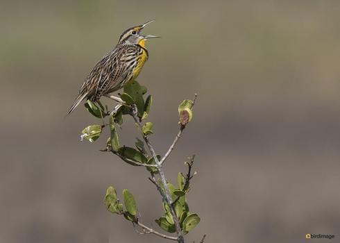 Witkaakweidespreeuw - Eastern Meadowlark 001