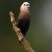 witkopnon-white-headed-munia-01