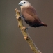 witkopnon-white-headed-munia-02