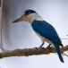 Witkraagijsvogel – Collared Kingfisher
