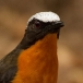 Schubkaplawaaimaker – White-crowned Robin-chat