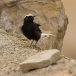 witkruintapuit-white-crowned-black-wheatear-01
