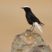 witkruintapuit-white-crowned-black-wheatear-02