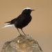 witkruintapuit-white-crowned-black-wheatear-03