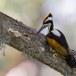 Witnekspecht-White-naped-woodpecker-02
