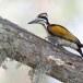 Witnekspecht-White-naped-woodpecker-03