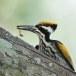 Witnekspecht-White-naped-woodpecker-04
