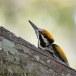 Witnekspecht-White-naped-woodpecker-06