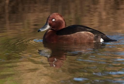 witoogeend-ferruginous-duck-01