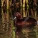 witoogeend-ferruginous-duck-02