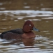 witoogeend-ferruginous-duck-04