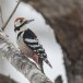 Witrugspecht -  White-backed woodpecker 01