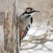 Witrugspecht -  White-backed woodpecker 03