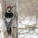 Witrugspecht -  White-backed woodpecker 05