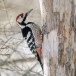 Witrugspecht -  White-backed woodpecker 06