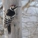 Witrugspecht -  White-backed woodpecker 09