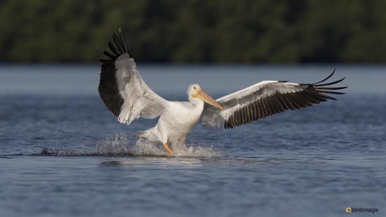 Witte pelikaan - White Pelican 002