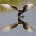 witvleugelstern-_-white-winged-tern-04