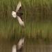 witvleugelstern-_-white-winged-tern-06
