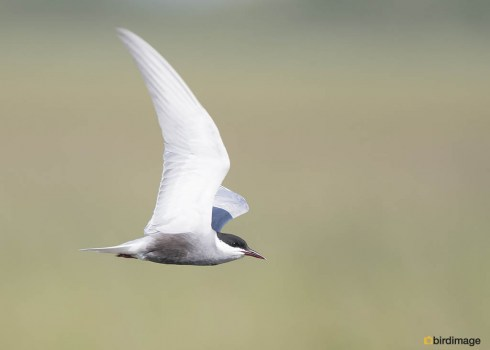 Witwangstern - Whiskered Tern 03
