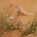 woestijngrasmus-desert-warbler-01