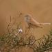 woestijngrasmus-desert-warbler-02