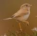 woestijngrasmus-desert-warbler-04