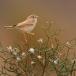 woestijngrasmus-desert-warbler-05