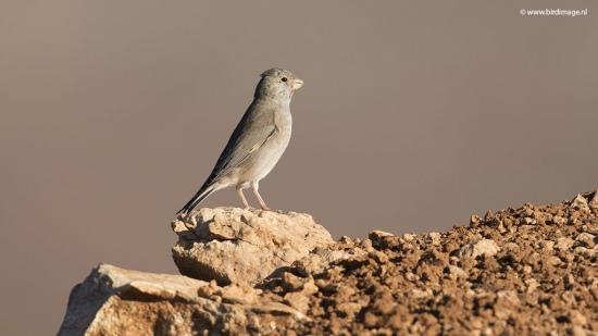 Woestijnvink - Trumpeter Finch 01
