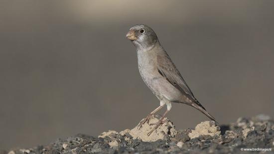Woestijnvink - Trumpeter Finch 06