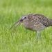 wulp-eurasian-curlew-02