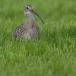 wulp-eurasian-curlew-04