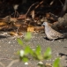 zebraduif-zebra-dove-01