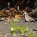zebraduif-zebra-dove-01