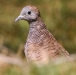 zebraduif-zebra-dove-02