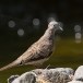 zebraduif-zebra-dove-04