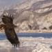 Zeearend -  White tailed eagle 02