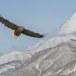 Zeearend -  White tailed eagle 05