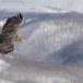 Zeearend -  White tailed eagle 07