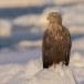 Zeearend -  White tailed eagle 08