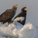 Zeearend -  White tailed eagle 09