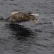 Zeearend -  White tailed eagle 13