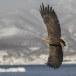 Zeearend -  White tailed eagle 17