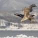 Zeearend -  White tailed eagle 18