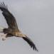 Zeearend -  White tailed eagle 20