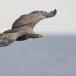 Zeearend -  White tailed eagle 23