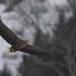 Zeearend -  White tailed eagle 27