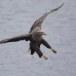 Zeearend -  White tailed eagle 28