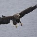 Zeearend -  White tailed eagle 29