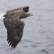Zeearend -  White tailed eagle 30